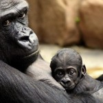 Praha 7 - zoo v Tróji, gorila