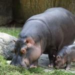 Praha 7 - zoo v Tróji, hroši