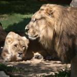 Praha 7 - zoo v Tróji, lvi