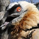 Praha 7 - zoo v Tróji, orlosup