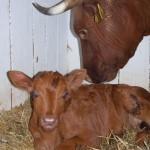 praha-toulcuv-dvur-kravy