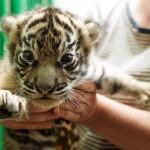 Praha 7 - zoo v Tróji, tygr