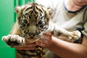 Pražská zoo - mládě tygra sumaterského